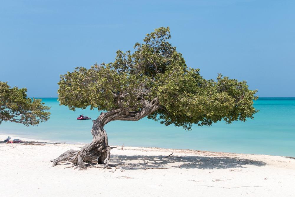 Aruba Karibik Divi-Divi-Bäume Reiseblog