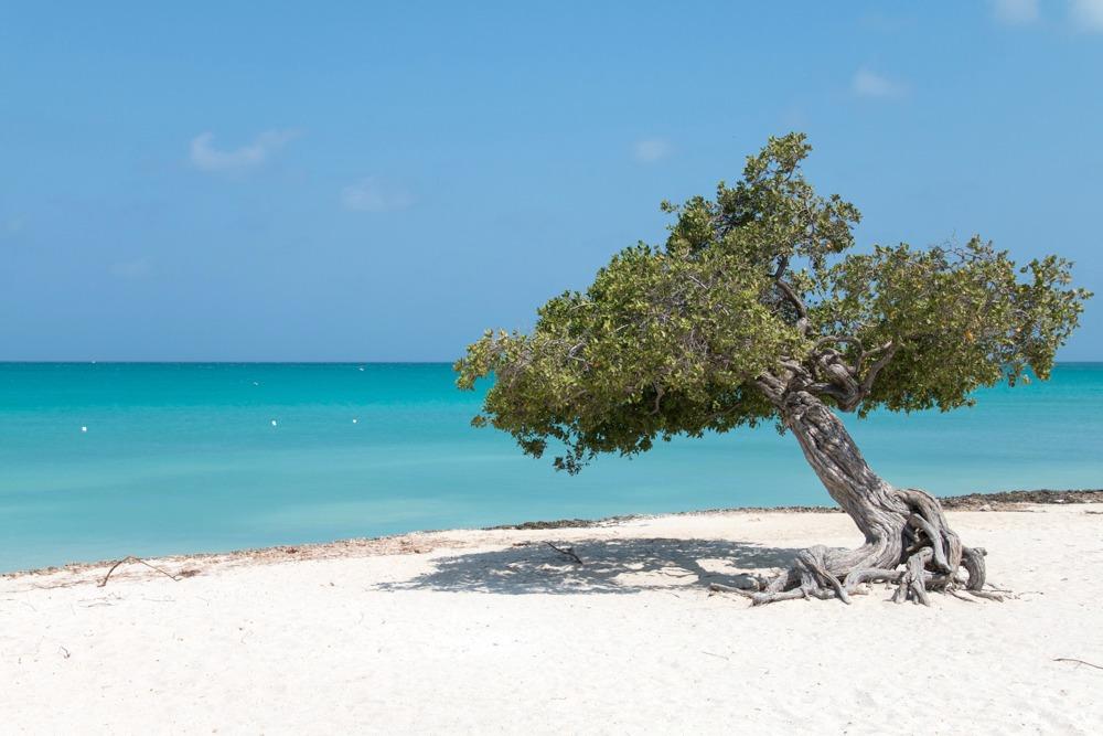 Divi-Divi-Bäume Aruba Karibik