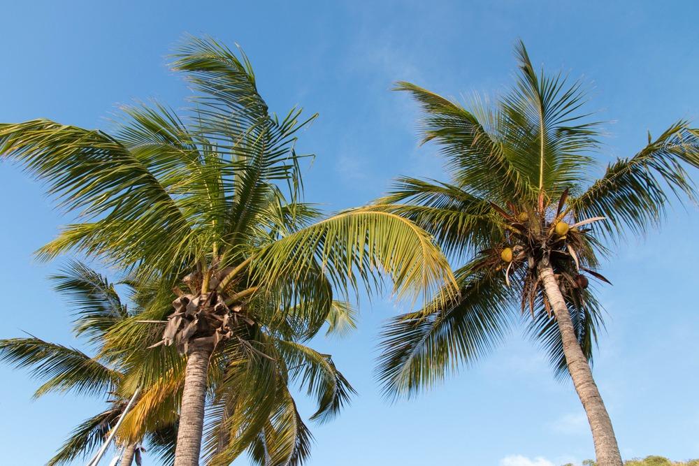 Palmen Britische Jungferninseln
