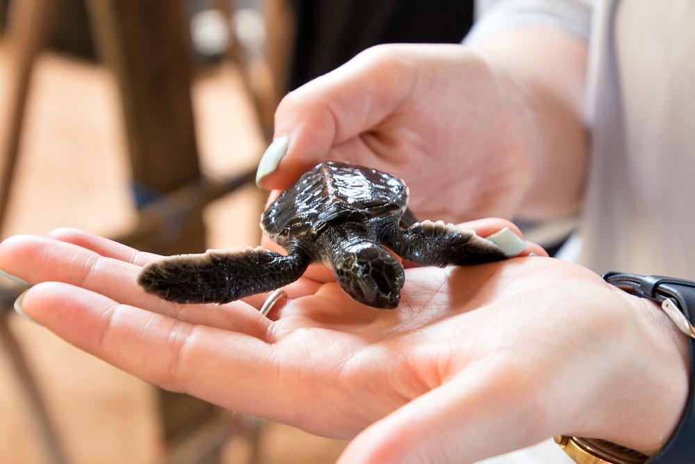 Schildkrötenstation Turtle Hatchery Kosgoda Sri Lanka