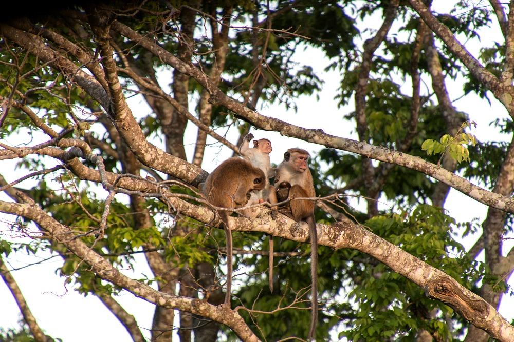Sri Lanka Affen