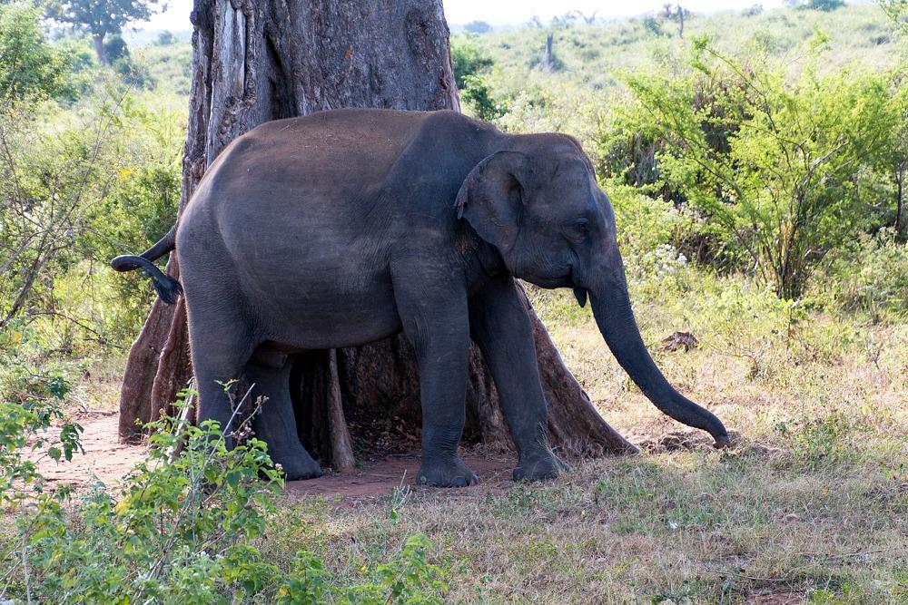 Udawalawe Sri Lanka Elefant Safari