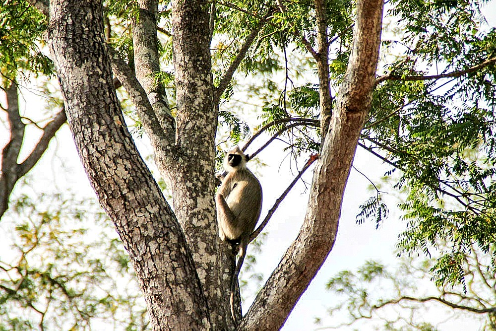 Affe Yala National Park Sri Lanka