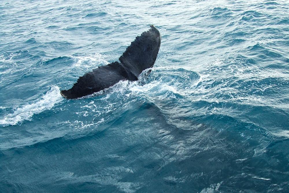 Hervey Bay Australien Wale_