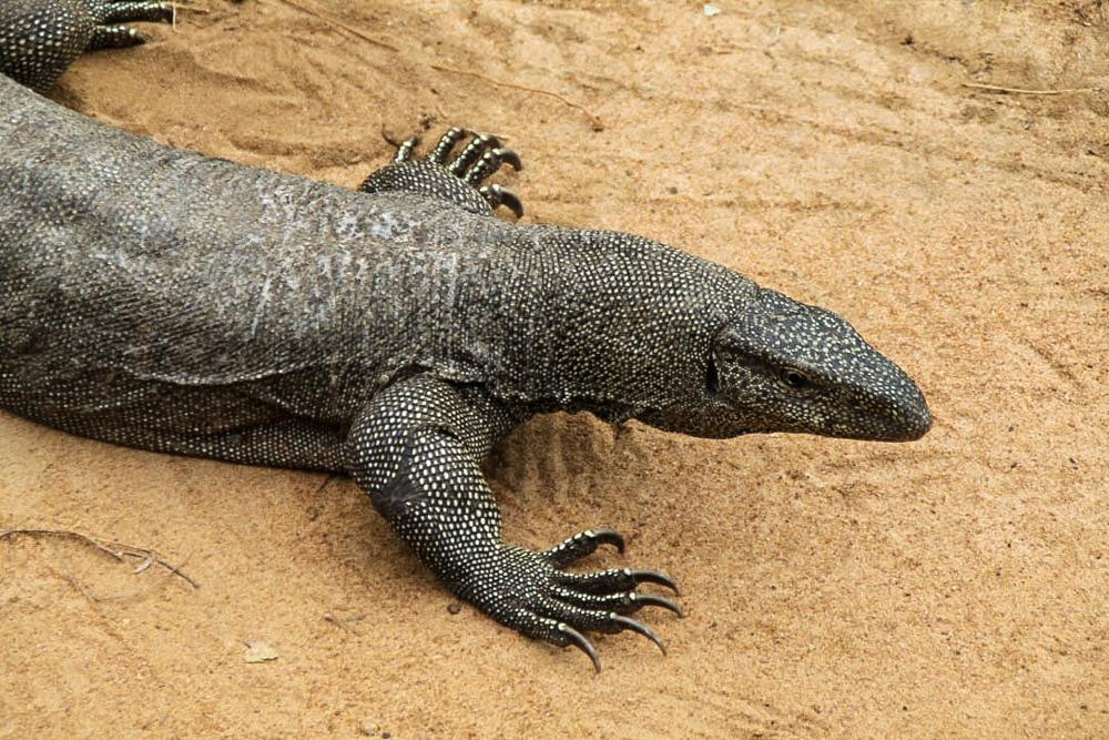 Waran Yala National Park Sri Lanka
