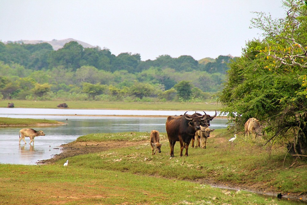 Wasserbüffel Safari Sri Lanka