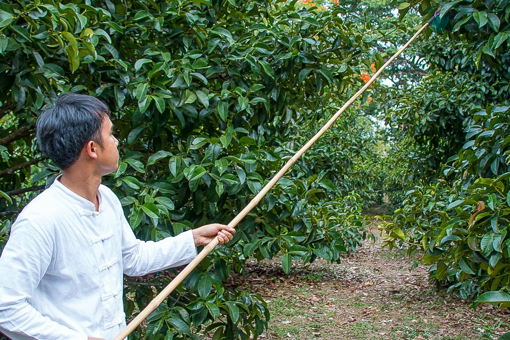 12 Thailand Mangostan Mangostin mangosteen Ernte
