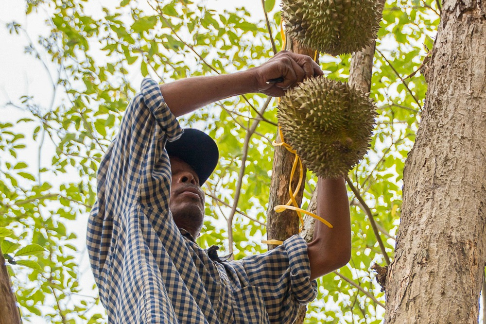 2 Thailand Durian Baum Ernte