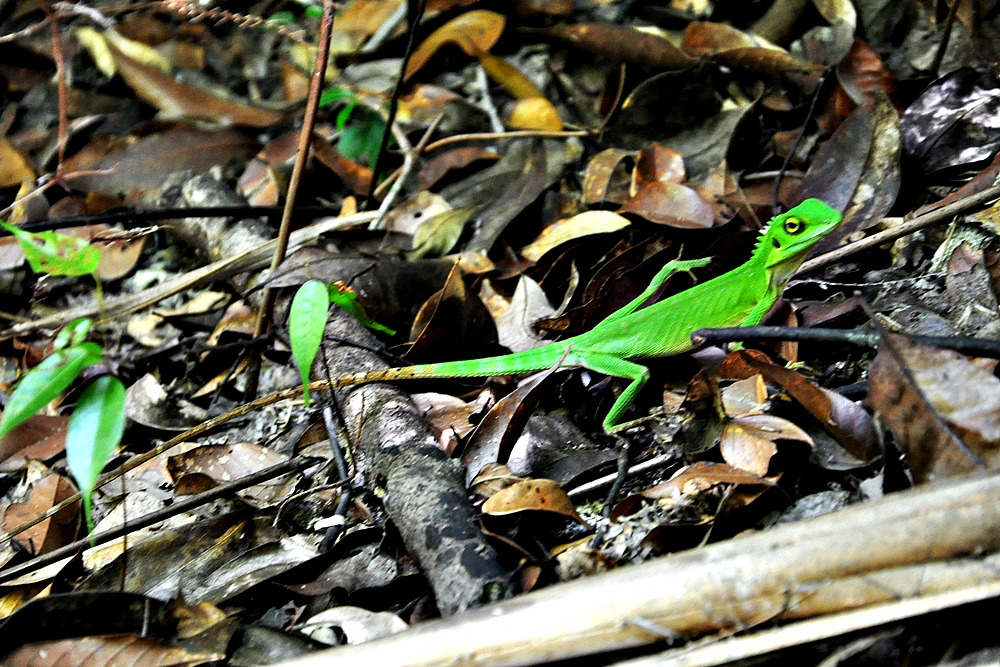 13 Echse Dschungel Penang Nationalpark Malaysia
