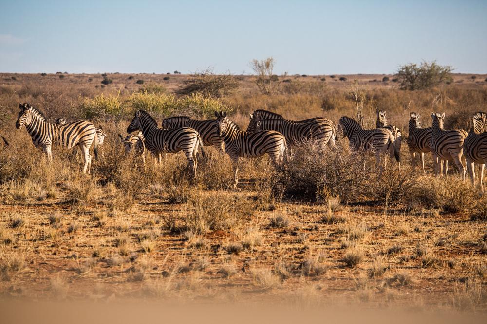 11-afrika-namibia-kalahari-wueste-zebras