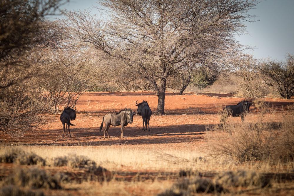 12-namibia-kalahariwueste-gnu