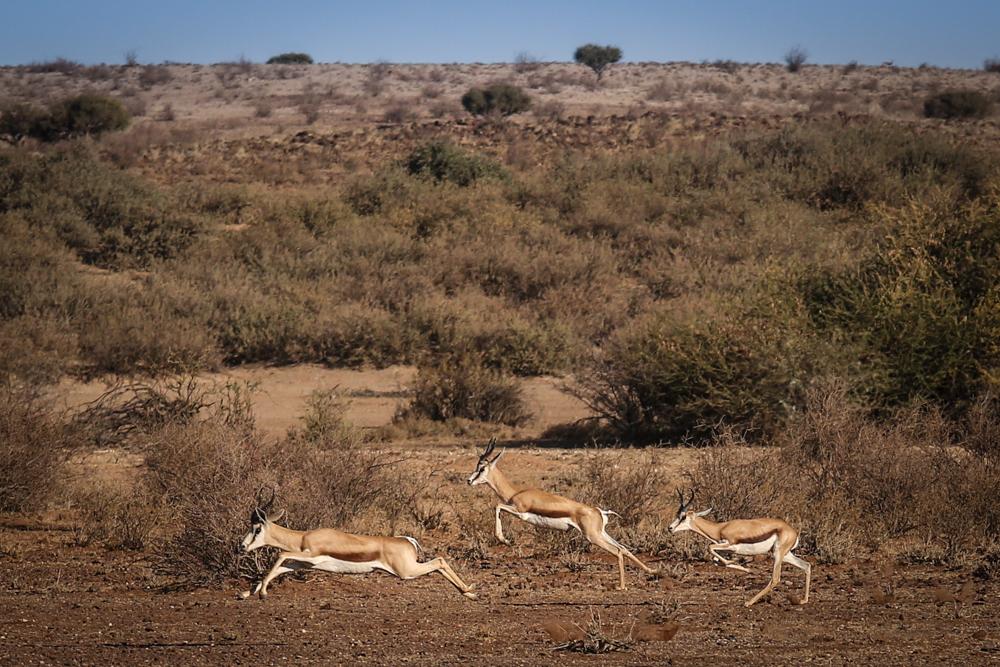 14-afrika-namibia-kalahariwueste-springbock