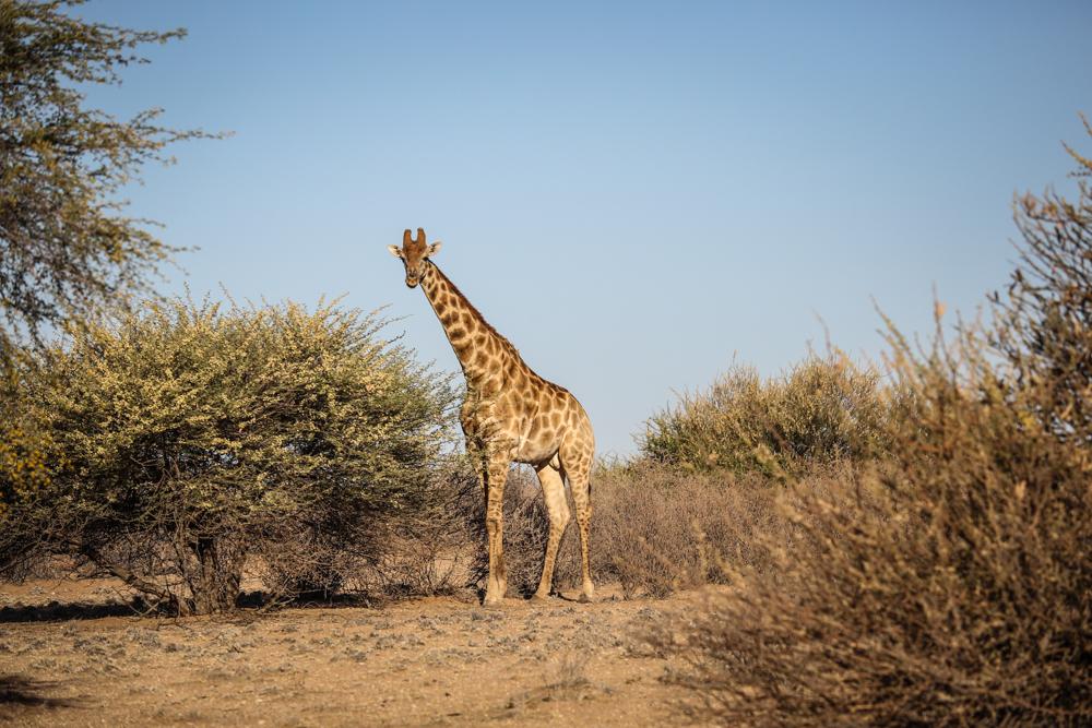 15-afrika-namibia-kalahari-wueste-giraffe