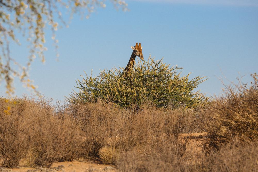 15-1-afrika-namibia-kalahari-wueste-giraffe
