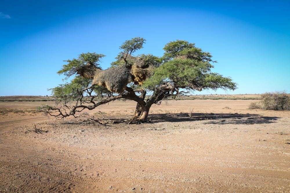 15-3-namibia-kalahari-wueste-kameldornbaum