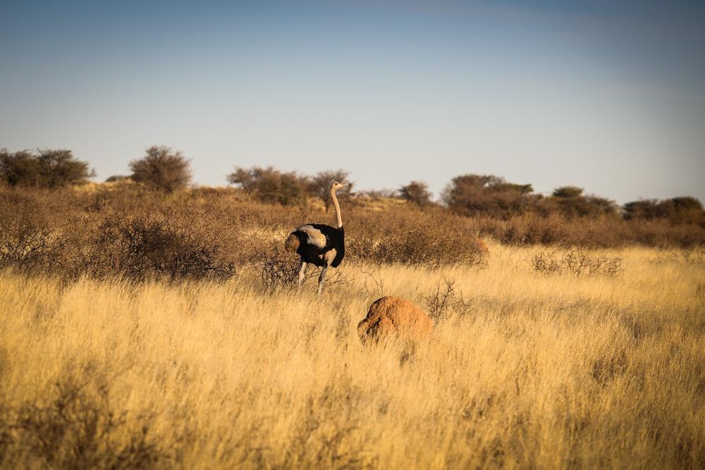 18-afrika-namibia-strauss