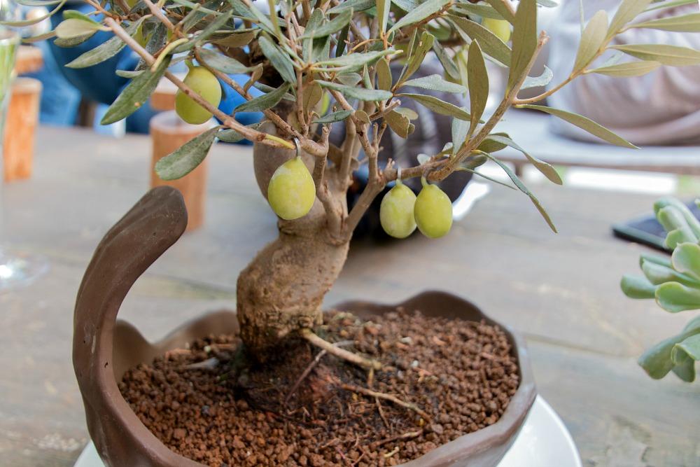 olivenbaum-el-celler-de-can-roca-appetizers-sternerestaurant-sternekueche-girona-katalonien-spanien