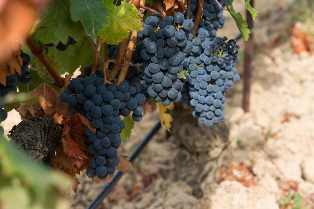 Weintrauben in der Rioja Alabeas