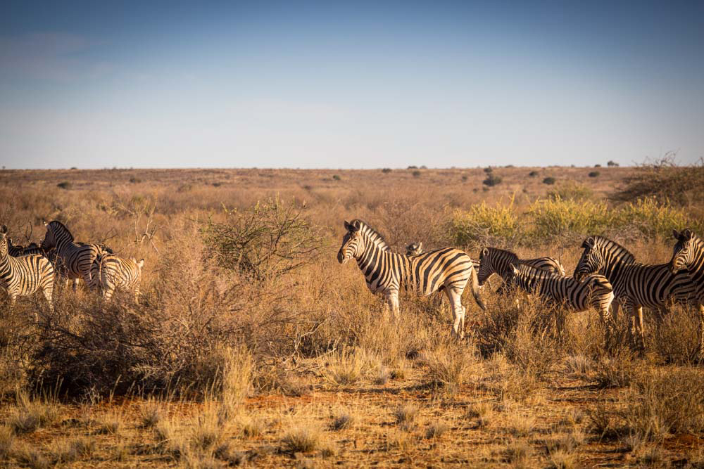 Safari: Zebras in Namibia