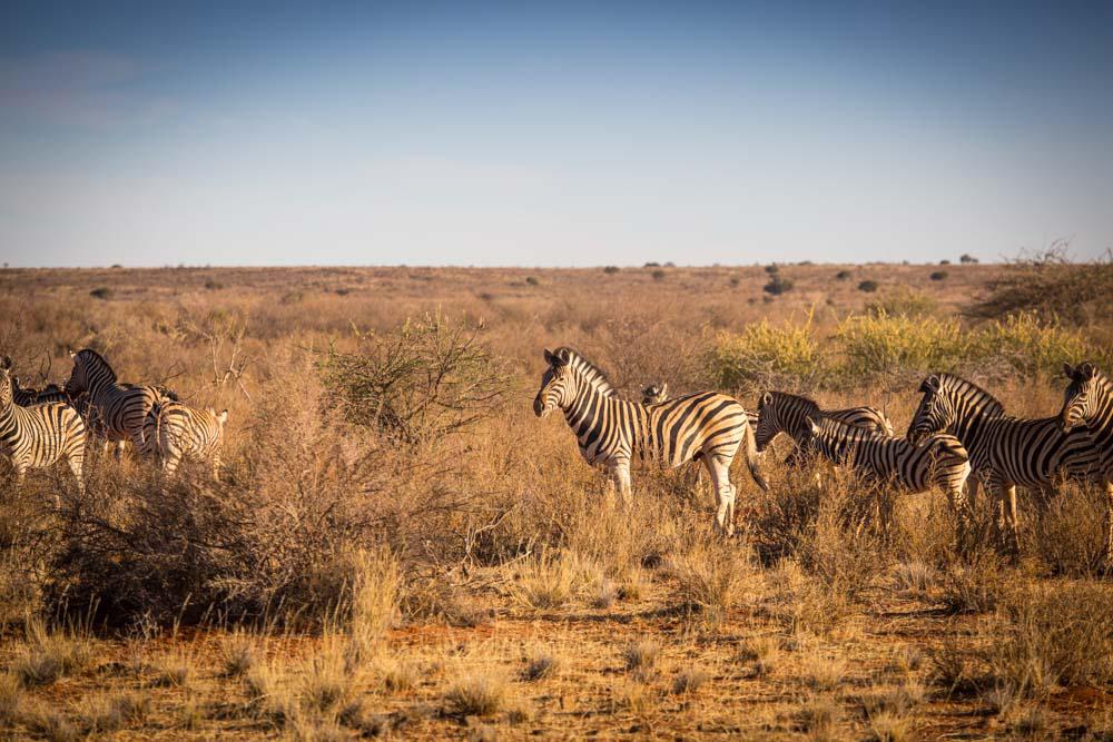 Safari: Zebras in Namibia
