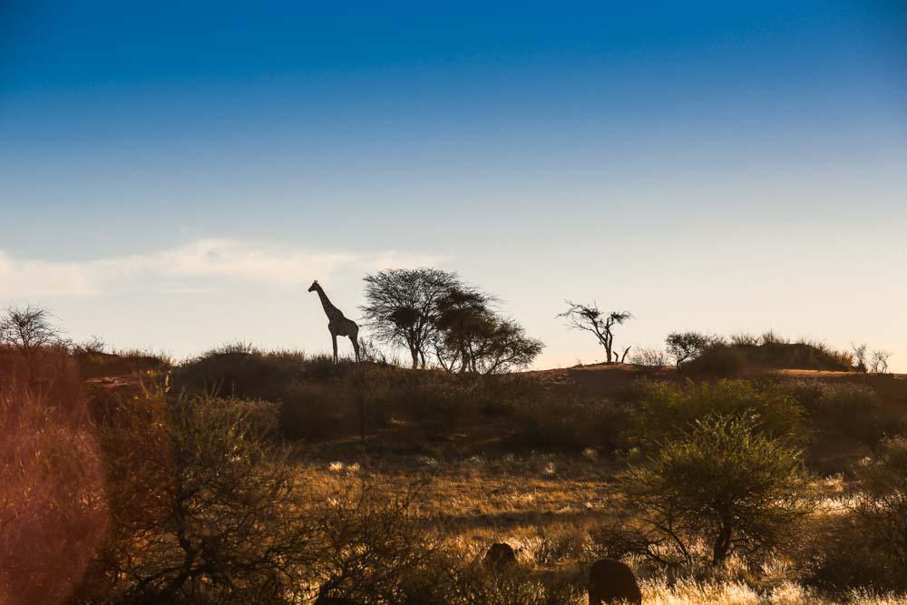 Giraffe in Namibia, Afrika