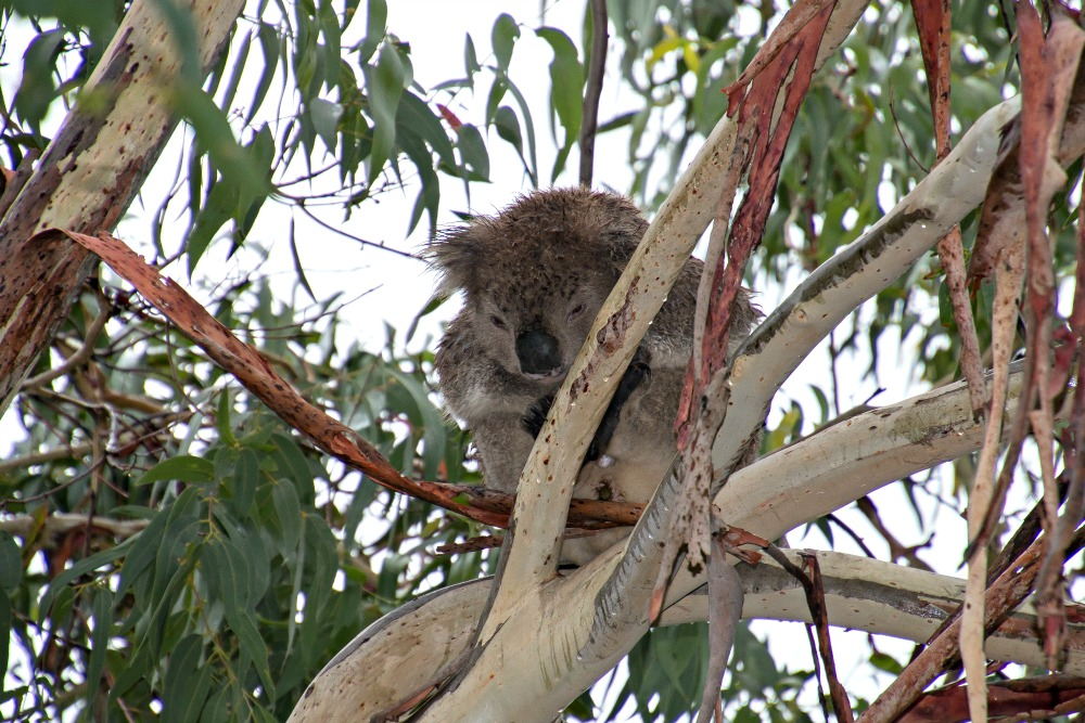 Koala bei der Great Ocean Road