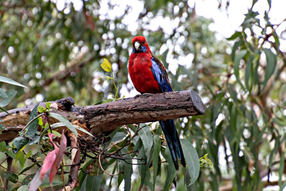 Papagei bei der Great Ocean Road