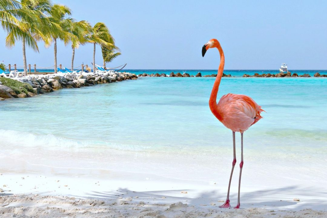 Aruba Flamingo Beach Flamingos am Strand der Karibikinsel