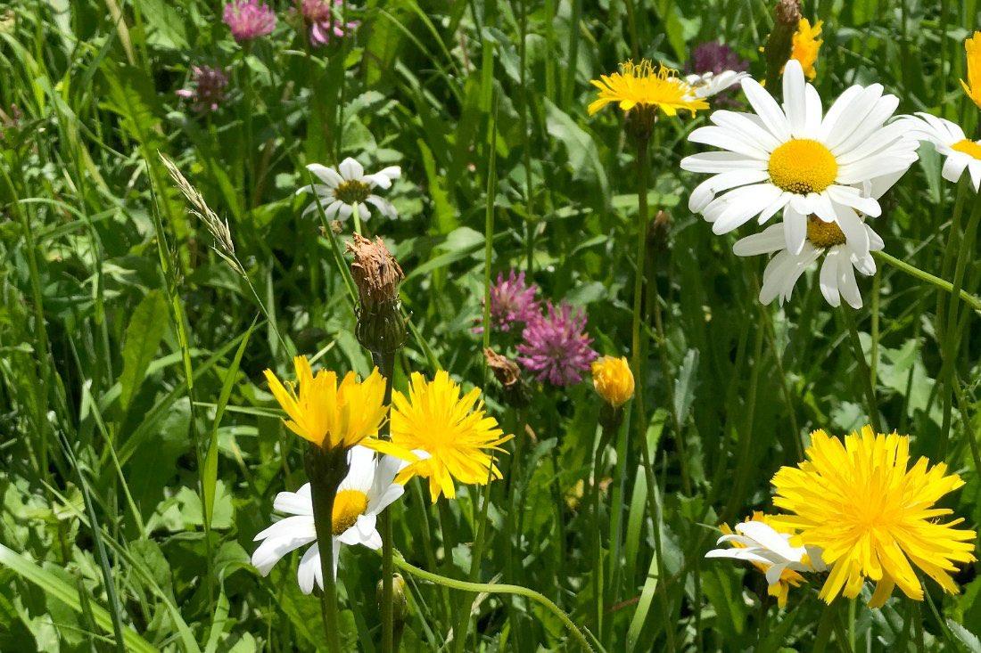 Wildblumen in der Schweiz