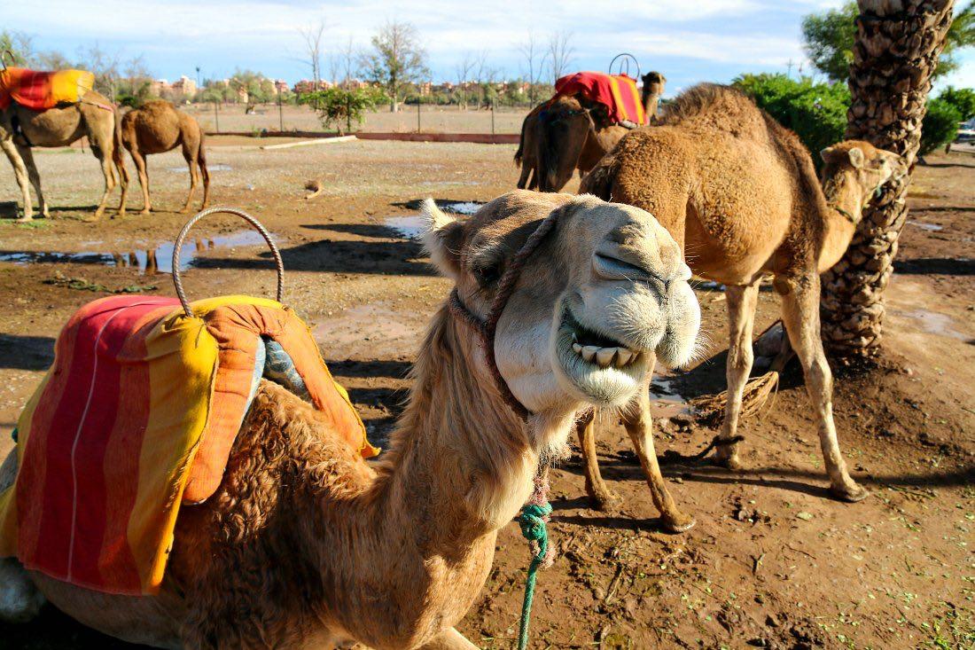 Dromedar in Marokko