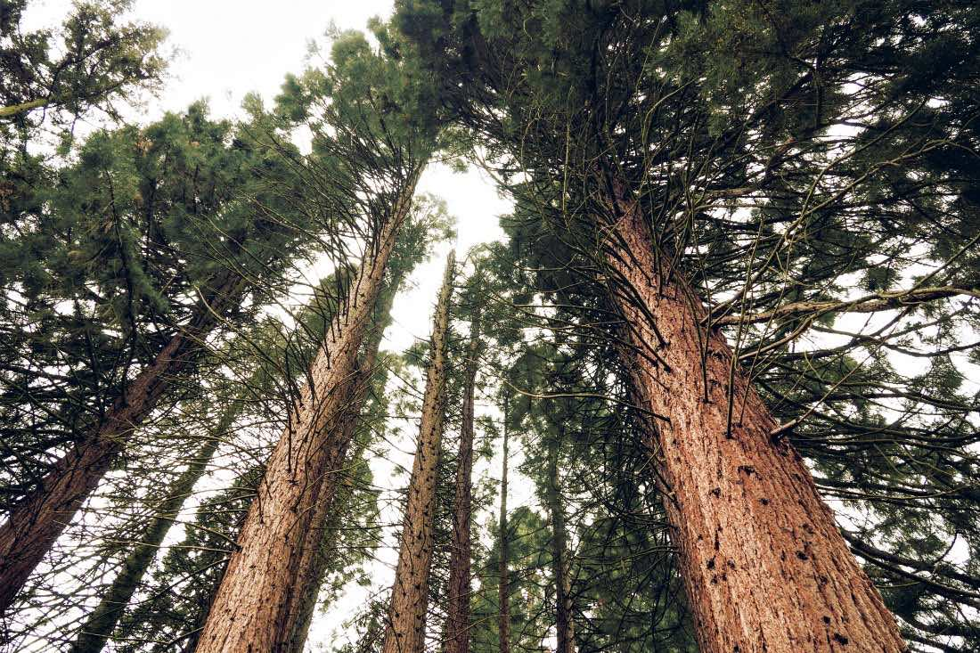 Mammutbäume am Niederrhein