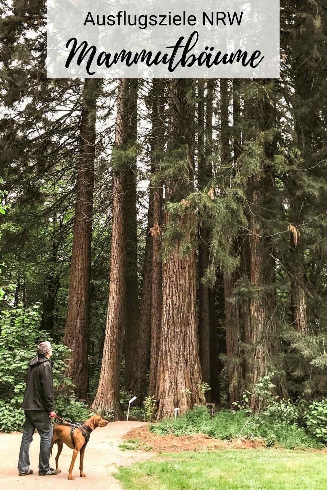 Ein genialer Ausflug NRW ging zu den Mammutbäumen der Sequoiafarm Kaldenkirchen. Hol dir Tipps für deinen Kurztrip! / Ausflugsziele NRW / Ausflugsziele Deutschland / NRW schöne Orte / Niederrhein Ausflug / Ausflug mit Hund