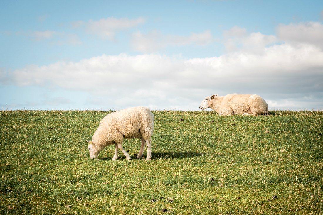 Schafe auf dem Deich Terschelling