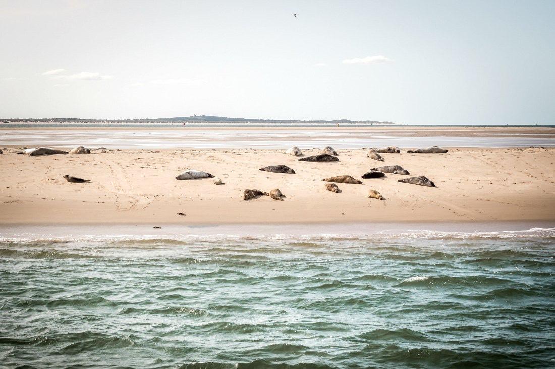Seehunde bei Terschelling Holland