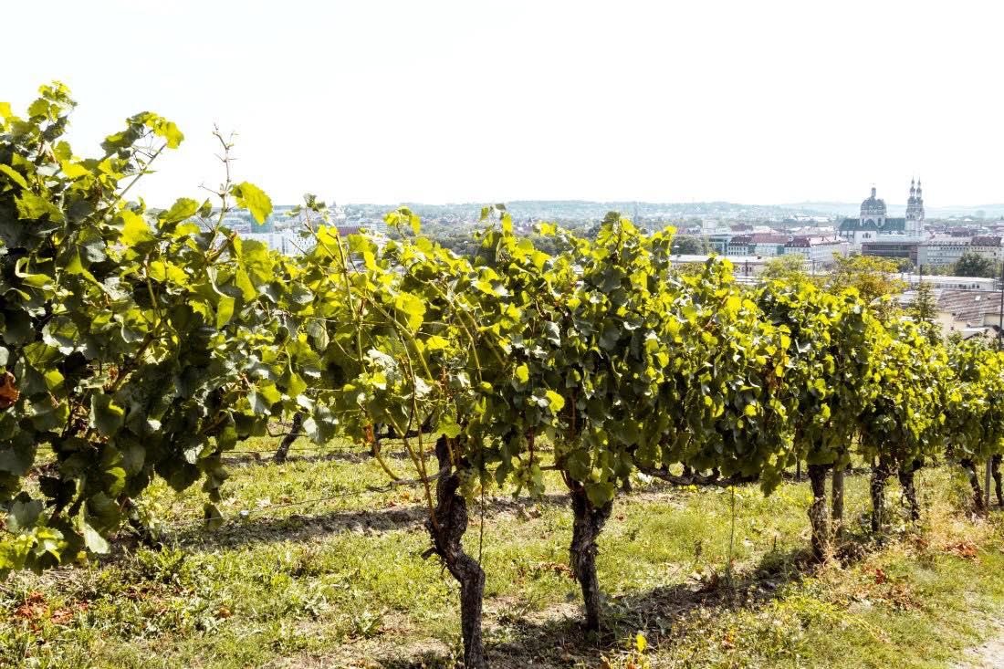 Würzburg Weinberg Frankenwein