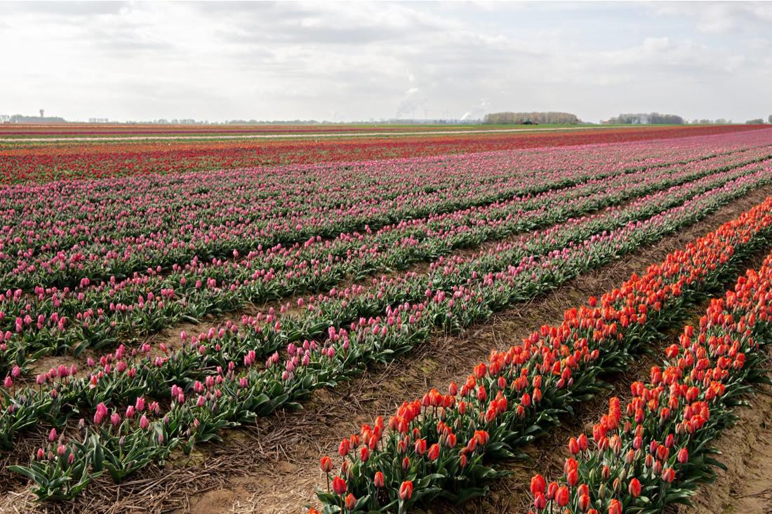 Grevenbroich Tulpenfelder Deutschland