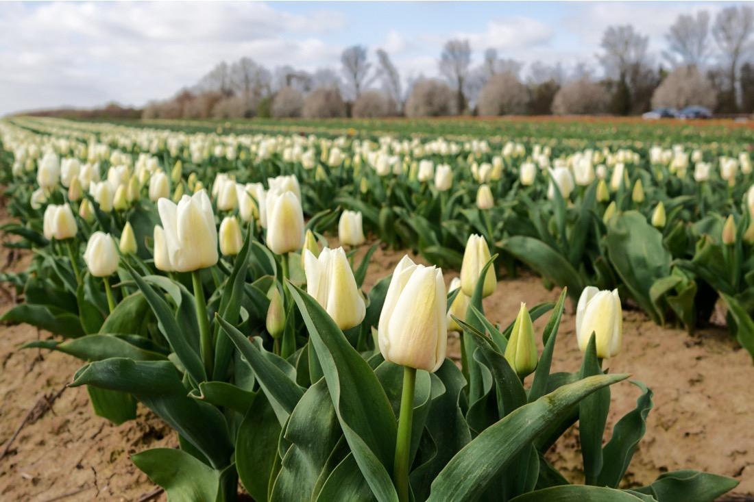 Tulpen in Deutschland
