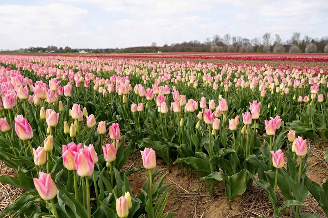 Tulpenfelder Grevenbroich NRW