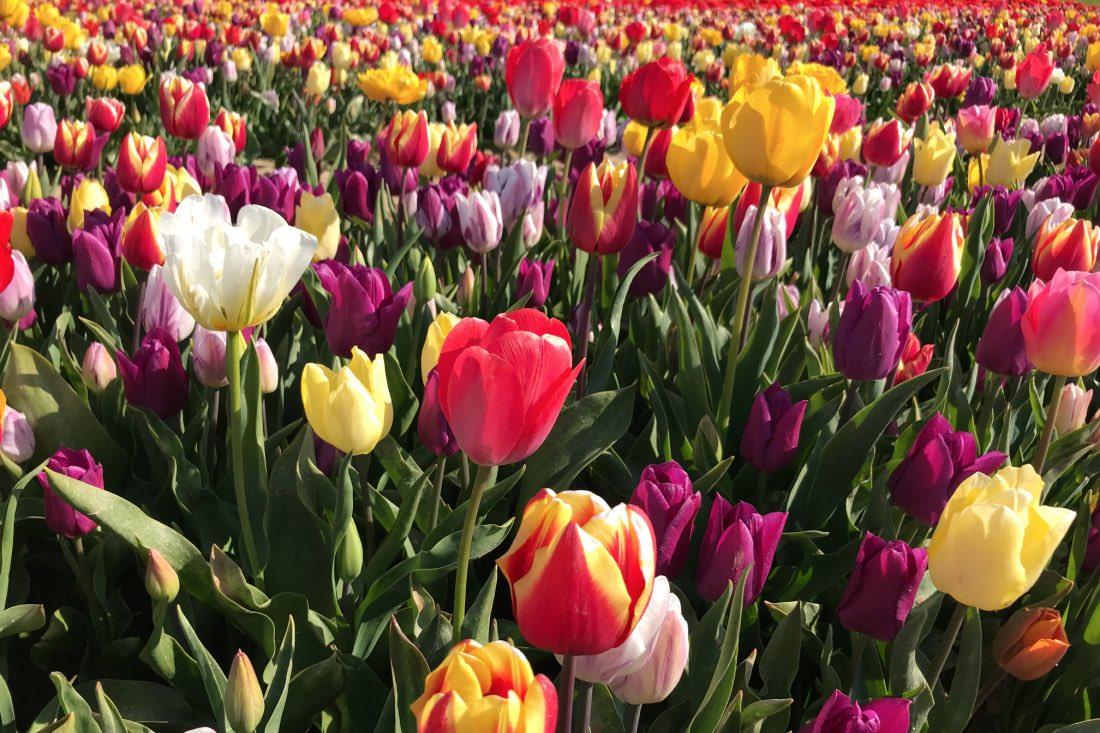 Tulpenfelder Neuss