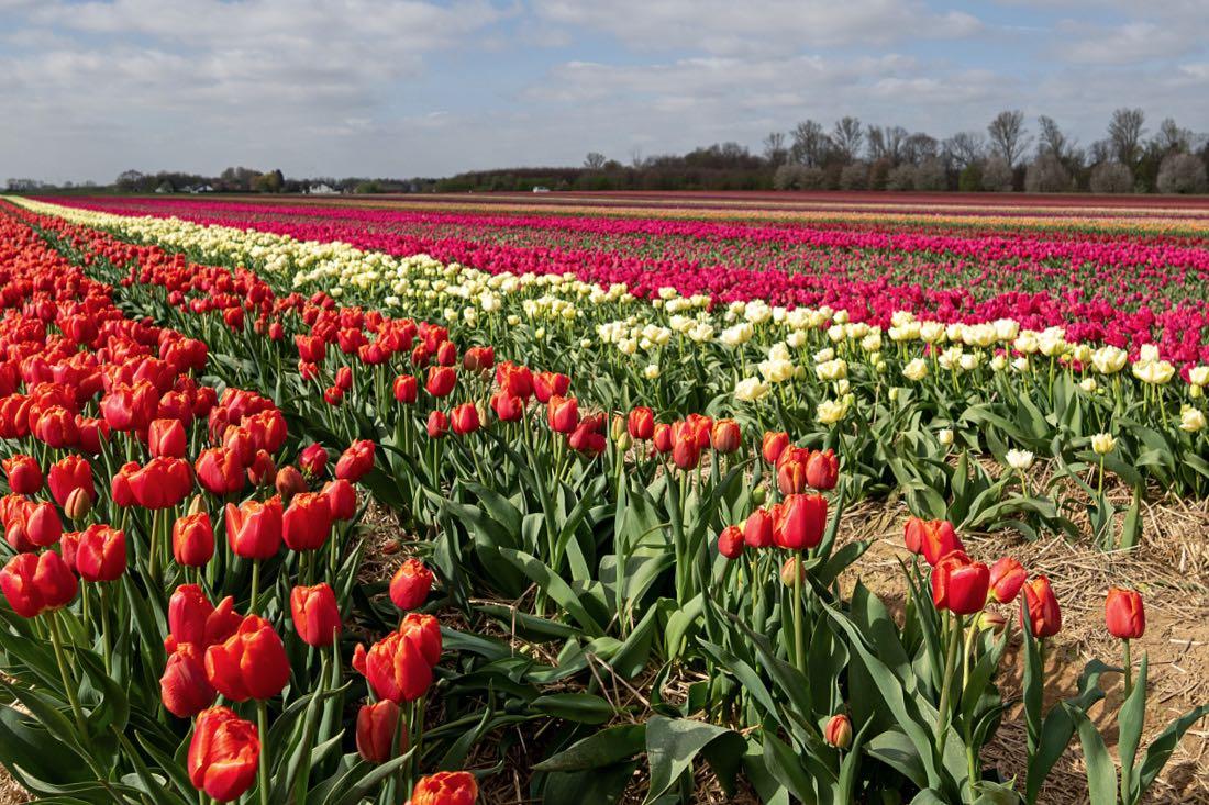 Tulpenfelder in Grevenbroich