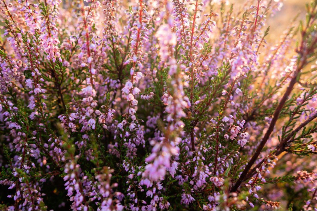 Heideblüte in Haltern am See