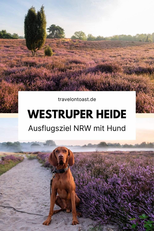 Die Westruper Heide in Haltern am See ist ein tolles Ausflugsziel NRW mit Hund. Im Reiseblog findest du meine Tipps und alle Infos für deinen Ausflug mit Hund, z. B. Parkplatz, Leinenpflicht, wandern, Heideblüte und Shooting bei Sonnenaufgang.