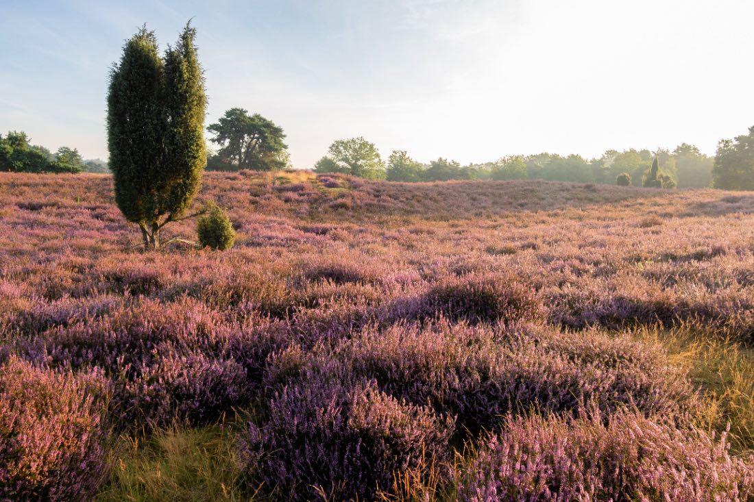 Westruper Heide Heideblüte bei Sonnenaufgang